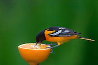 Male Northern Oriole (Icterus galbula) feeding on half an orange at a feeder.  Great Lakes Region.  May.