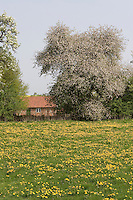 Dorfidylle, Dorf, Haus, mit blühender Löwenzahn-Wiese, blühenden Obstbaum, Lebensraum für Kulturfolger