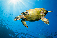Hawksbill Sea Turtle, Eretmochelys imbricata, Komodo National Park, Lesser Sunda Islands, Indonesia, Pacific Ocean