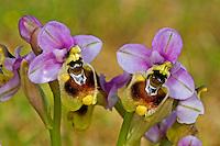 Wespen-Ragwurz, Wespenragwurz, Ophrys tenthredinifera, Ophrys grandiflora, sawfly orchid, L'Ophrys guêpe, Ophrys tenthrède, Ragwurzen, Kerfstendel, Mimikry, Lockmimikry