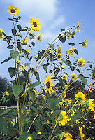 Branching Sunflower 'Valentine' Helianthus against blue sky