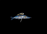 baby 1 inch long baby marlin, family Istiophoridae, photographed in open ocean at 40 feet with the bottom 600 feet below during a blackwater dive, Palm Beach, Florida, USA, Atlantic Ocean
