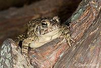 0602-0907  Fowler's Toad, Anaxyrus fowleri [syn: Bufo fowleri (Bufo woodhousii fowleri)]  © David Kuhn/Dwight Kuhn Photography