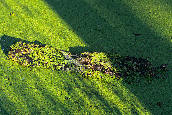American Alligator (Alligator mississippiensis) in small pond covered in duckweed.
