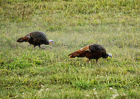 Wild turkey hens feeding in a grass field, Massachusetts, USA