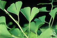 Ginkgo biloba - leaves
