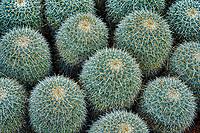 Close up of Mammillaria cactus. Moorten Botanical Garden
