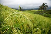 Jatiluwih, Bali, Indonesia.  Rice.  Terraced Fields in Background.