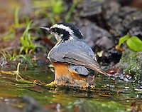 Adult female red-brested nuthatch bathing