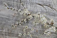 Gewöhnliche Schlehe, Schwarzdorn, Blüte, Blüten, Prunus spinosa, Blackthorn, Sloe, Epine noire, Prunellier