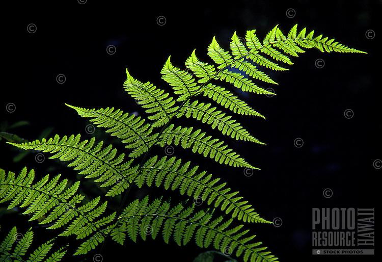 Hoio native fern