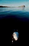Baja, Mexico, A dead Western Grebe floats breast up before the east coast of the Baja Peninsula, Baja Sur, Mexico, Sea of Cortez, Gulf of California