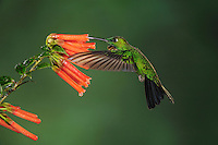 Green-crowned Brilliant (Heliodoxa jacula), male feeding from flower,Mindo, Ecuador, Andes, South America