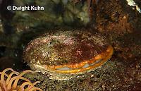1Y52-500z  Sea Scallop, Marine bivalve