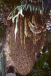 494-HO Wild Honey Bee Hive, Apis mellifera, in garden of W. R. Paylen