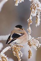 Eurasian Bullfinch, Pyrrhula pyrrhula, female eating seeds of Stinging Nettle(Urtica dioica) with frost by minus 15 Celsius, Lenzerheide, Switzerland, Dezember 2005