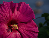 hot pink moon flower basking int he morning sun on the channel in South Haven.