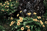 Columbia River Gorge, Balsamroot at Tom McCall Preserve, at Rowena on the Old Gorge Highway.