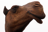 A beautiful camel has droopy lips and long eye lashes.  Female camels have a sweet disposition toward humans.