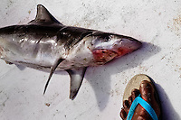 A dead shark lies on the deck of the jangada boat on the beach of Iguape, Ceará state, northeastern Brazil, 14 March 2004. Jangadeiros, working on a unique wooden raft boat called jangada, keep the tradition of artisan fishing for more than four hundred years. However, being a fisherman on jangada is highly dangerous job. Jangadeiros spend up to several days on high-sea, sailing tens of kilometres far from the coast, with no navigation on board. In the last two decades jangadeiros have been facing up the pressure from motorized vessels which use modern, effective (and environmentally destructive) fishing methods. Every time jangadeiros come back from the sea with less fish.