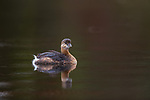 Pied-billed swimming in a wilderness lake in northern Wisconsin.