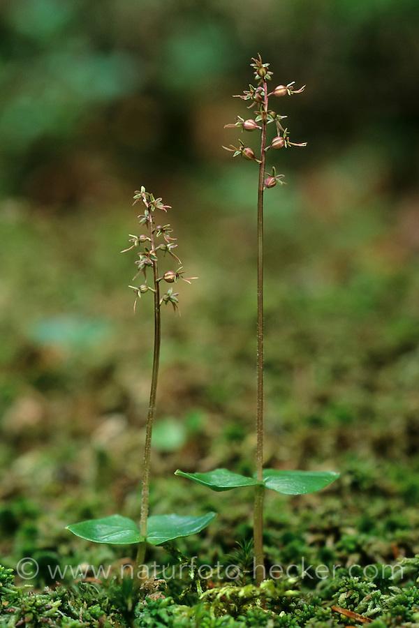 Kleines Zweiblatt, Listera cordata, Neottia cordata, Heart- Leaved Twayblade, Lesser Twayblade