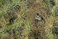 Cactus Wren (Campylorhynhus brunneicapillus) nest in Chain-fruit Cholla.  Sonoran Destert, Arizona.