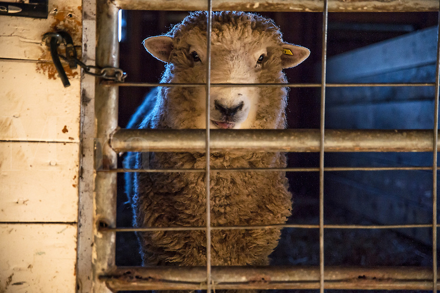 Sheep in a barn, Martha's Vineyard, Massachusetts, USA