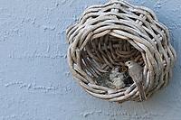 Grauschnäpper, Grau-Schnäpper brütet in einem alten Korb am Haus, mit Küken, fütternd, Jungvögel, Nest, Muscicapa striata, Spotted Flycatcher, nest, chick, chicks, fledgling, fledglings, Le Gobemouche gris