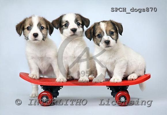 Xavier, ANIMALS, dogs, photos+++++,SPCHDOGS870,#a# Hunde, perros