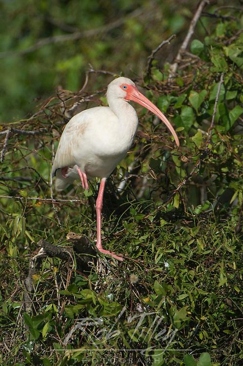 USA, Florida, Everglades NP, White Ibis