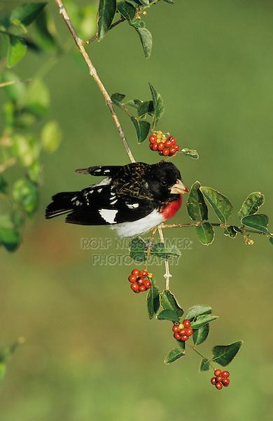 Rose-breasted Grosbeak, Pheucticus ludovicianus,male eating berries, South Padre Island, Texas, USA