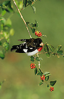 Rose-breasted Grosbeak, Pheucticus ludovicianus,male eating berries, South Padre Island, Texas, USA