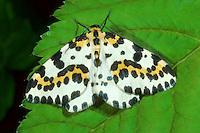 Stachelbeerspanner, Stachelbeer-Spanner, Stachelbeer-Harlekin, Abraxas grossulariata, Magpie Moth, Spanner, Geometridae, looper, loopers, geometer moths, geometer moth