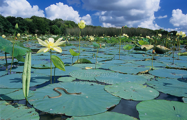 Checkered Garter Snake, Thamnophis marcianus marcianus,adult sunning on American Lotus(Nelumbo lutea) lily pad, Welder Wildlife Refuge, Sinton, Texas, USA