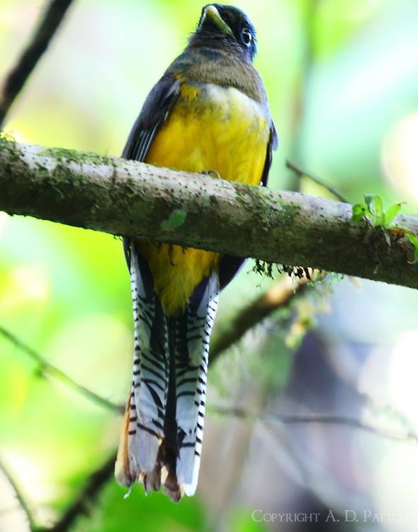 Female black-throated trogon