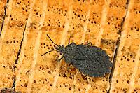 Rindenwanze, Aradus aterrimus, Rindenwanzen, flat bug, Aradidae, flat bugs