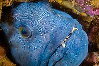 Atlantic Wolf fish, Anarhichas lupus, Atlantic, USA, Maine, reproduction, An Atlantic Wolffish, Maine, Fish