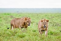 lion (Panthera leo), young males, Ndutu, Ngorongoro Conservation Area, Serengeti, Tanzania, Africa