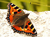 The Tortoiseshell Butterfly is a medium-sized butterfly that is mainly reddish-orange in colour, with black and yellow markings on the forewings as well as a ring of blue spots around the edge of the wings. It has a wingspan ranging from 4.5-6.2 cm.<br /> <br /> The small tortoiseshell is the National Butterfly of Denmark.<br /> <br /> Stock Photo by Paddy Bergin