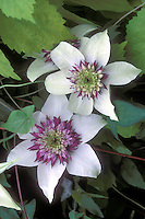 Clematis florida var sieboldiana aka Clematis sieboldii with Humulus lupulus 'Aureus' (Golden Hops)