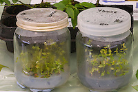 Propagation of Blueberries in sterile jars