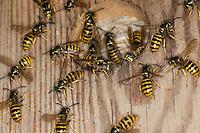 Sächsische Wespe, Nest in einem Vogel-Nistkasten, Wespennest, Kleine Hornisse, Dolichovespula saxonica, Vespula saxonica, Saxon wasp, wasps' nest, vespiary in a nesting box, Faltenwespen, Papierwespe, Papierwesen, Vespidae