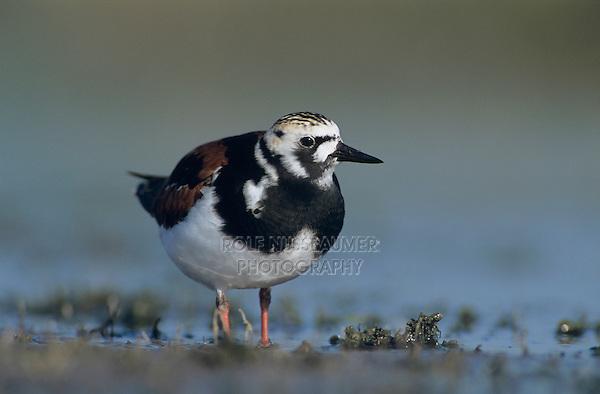Ruddy Turnstone, Arenaria interpres,adult summer plumage, Welder Wildlife Refuge, Sinton, Texas, USA