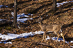 White-tailed doe walking in a northern Wisconsin woodland.