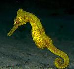 Seahorse, Hippocampus erectus