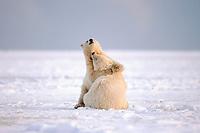 polar bear, Ursus maritimus, cubs playing on the 1002 coastal plain of the Arctic National Wildlife Refuge, Alaska, polar bear, Ursus maritimus