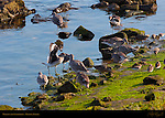 Willets and Sandpipers, Ballona Creek, Southern California