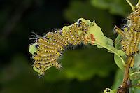Mondvogel, Mondfleck, Raupe, Raupen, Raupenansammlung an Eiche, Phalera bucephala, Buff-tip moth, buff tip caterpillar, Zahnspinner, Notodontidae, prominents