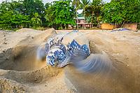 leatherback sea turtle, Dermochelys coriacea, female, nesting and laying eggs, at sunrise, Grand Riviere, Trinidad, Trinidad and Tobago, Caribbean Sea, Atlantic Ocean
